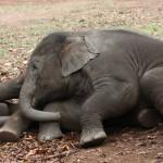 Los elefantes de madres estresadas envejecen antes y tienen menos crías