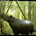 Un último intento para evitar la extinción del rinoceronte de Sumatra