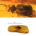 Una pieza de ámbar báltico escondía un nuevo escarabajo