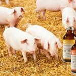 Reducen mortalidad de aves de corral y cerdos con suplemento alimenticio
