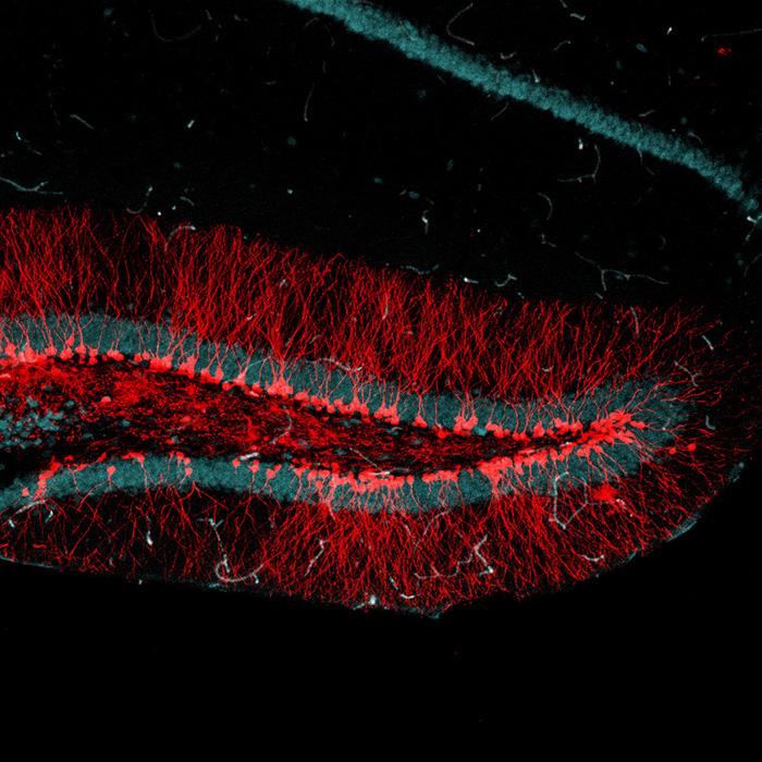 Hallan una molécula clave para el desarrollo de neuronas a partir de células madre