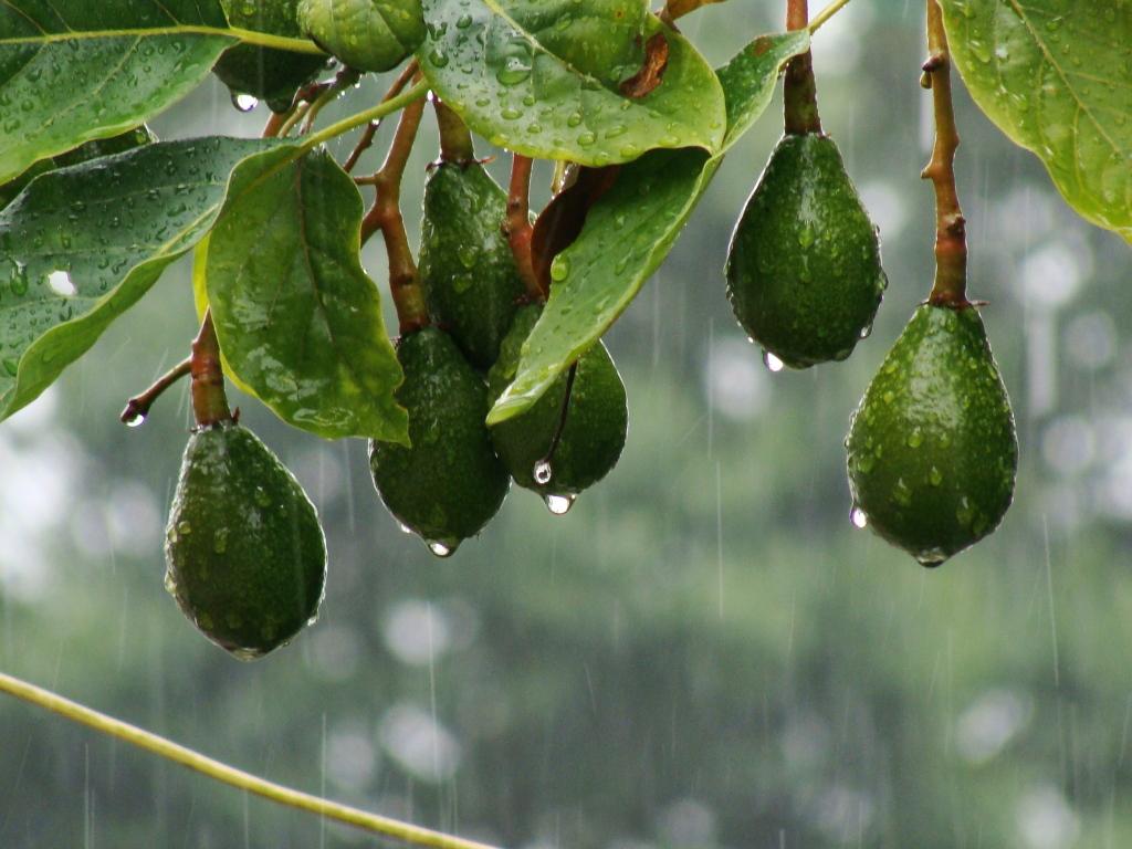 Aguacates bajo la lluvia