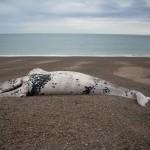 Algas tóxicas tras el misterio de las muertes de ballenas en Argentina