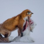 'Historia de dos zorros', ganadora del Wildlife Photographer of the Year 2015