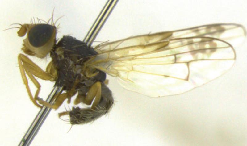 Identifican tres nuevas especies de mosca de la fruta