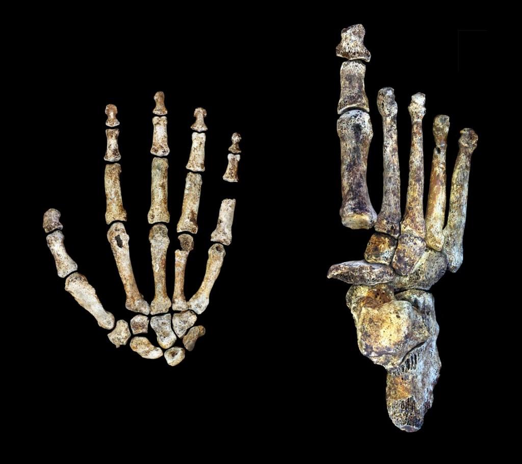 Mano y pie del Homo naledi- Peter Schmid y William Harcourt Smith, Wits University