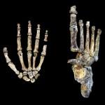 El 'Homo naledi', un hominido andarín con manos modernas