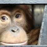 La mirada hacia la libertad de un orangután de Sumatra