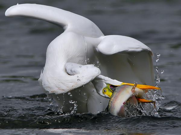 Pelícano atrapando a un pez