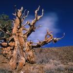 ¿Cuáles son los seres vivos más viejos del planeta?