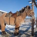 Los caballos yakutos se adaptaron al frío de Siberia en menos de 800 años