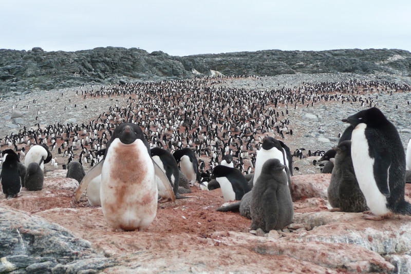 Colonia de pingüinos Adelaida en la Antártida oriental- Louise Emmerson