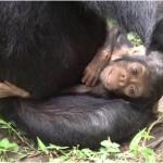 La madre chimpancé que cuidó de su hija discapacitada