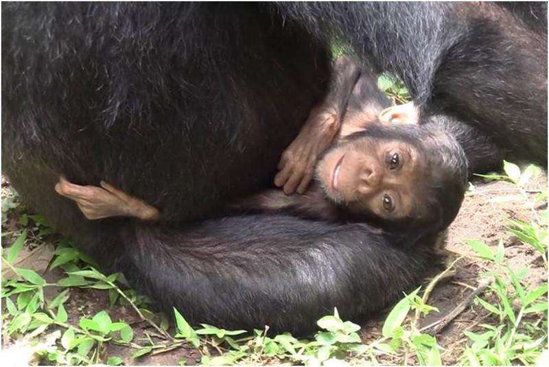 Cria discapacitada de chimpance junto a su madre- Takuya Matsumoto