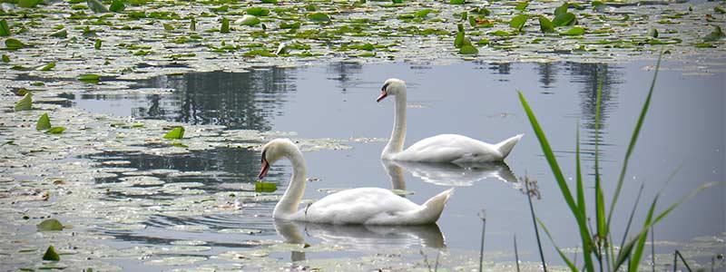 Laguna con lirio acuático y cisnes