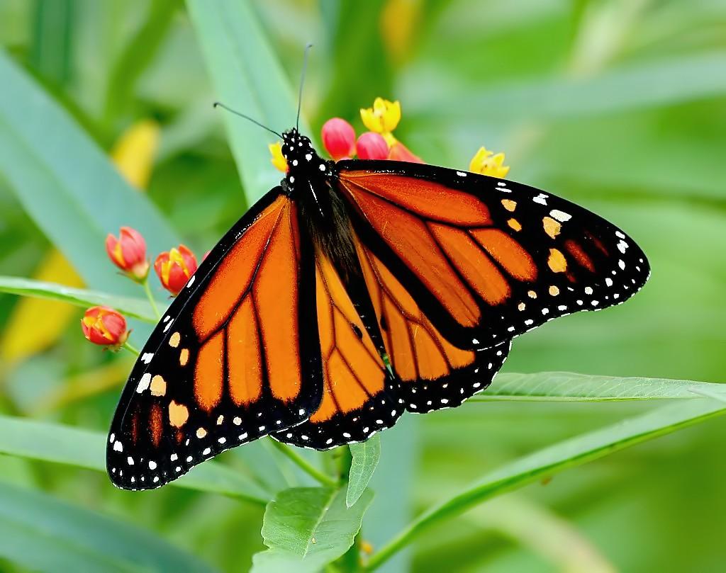 Mariposa Monarca- Ken Slade