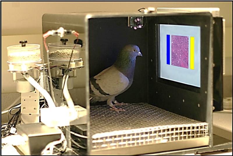 Palomas para detección de tumores