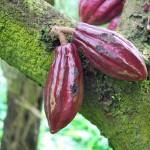 El cacao tiene 10 millones de años de existencia