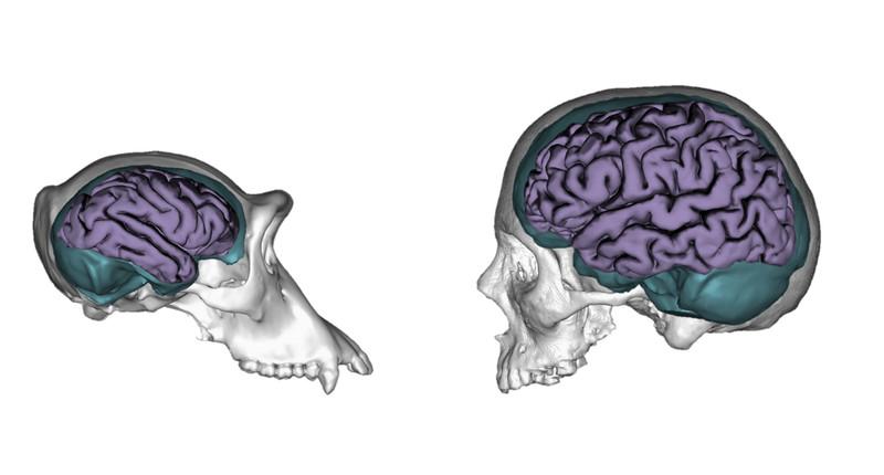 Reconstrucción tridimensional de un cráneo de chimpancé y de un humano, mostrando sus moldes endocraneales (en turquesa) y cerebros (en morado)- Aida Gómez-Robles y José Manuel de la Cuétara