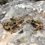 Jaque mate al hongo letal que amenaza a los anfibios
