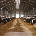 Una mutación en vacas que favorece a los ganaderos