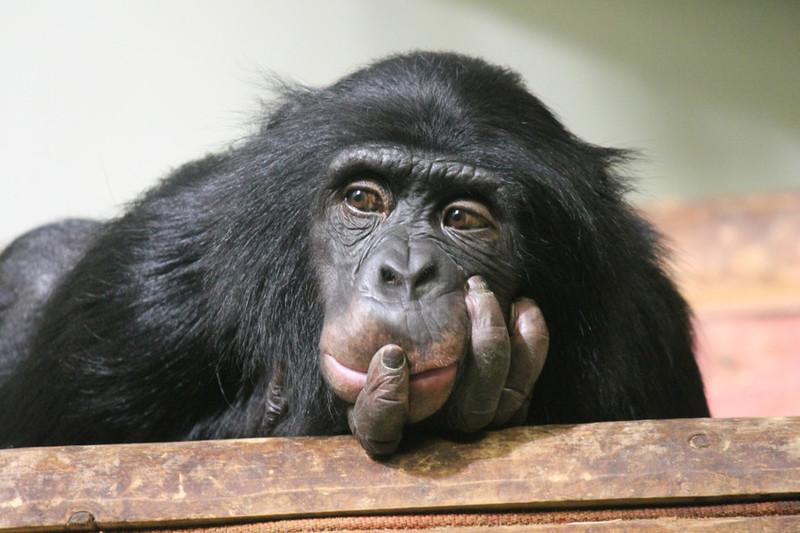 Chimpancé (Pan troglodytes)- Fotolia