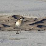 La acción humana reduce la tercera parte de las especies de aves playeras