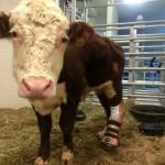 A un joven toro le ponen una protesis de pata: Del matadero a objeto de estudio