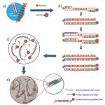 Nanopartículas de oro y 'perlas' para detectar el ADN de Leishmania (VIDEO)