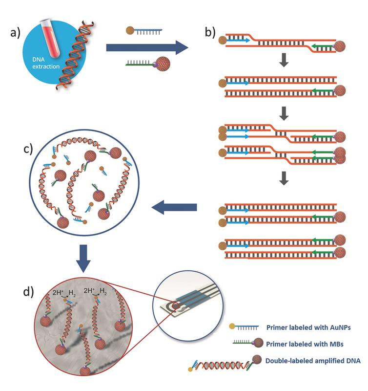 Esquema del procedimiento experimental para la detección de ADN marcado con nanopartículas de oro y microesferas o 'nanoperlas' magnéticas- ICN2