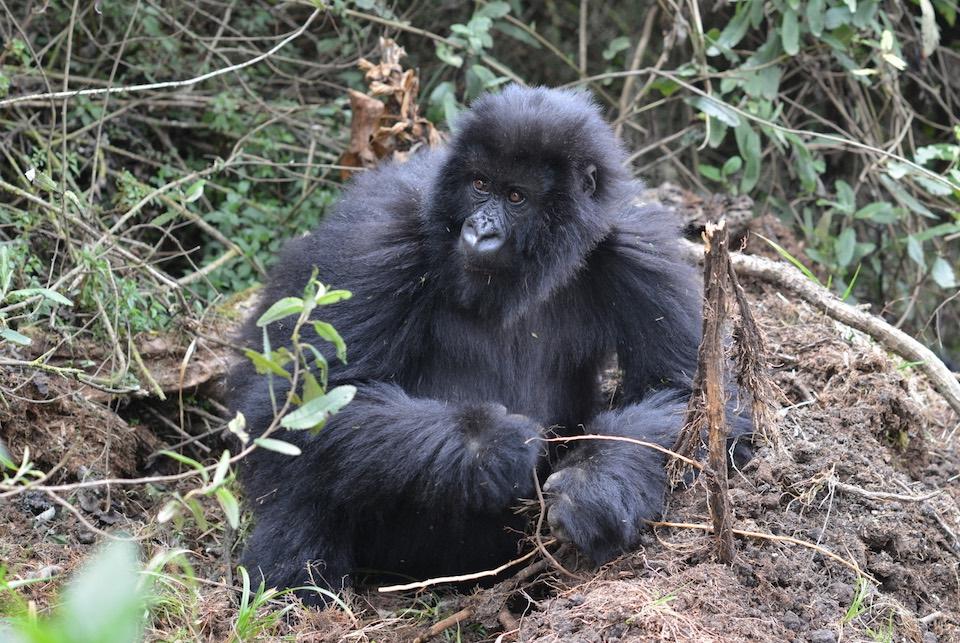 Gorila de montaña- Jordi- Galbany