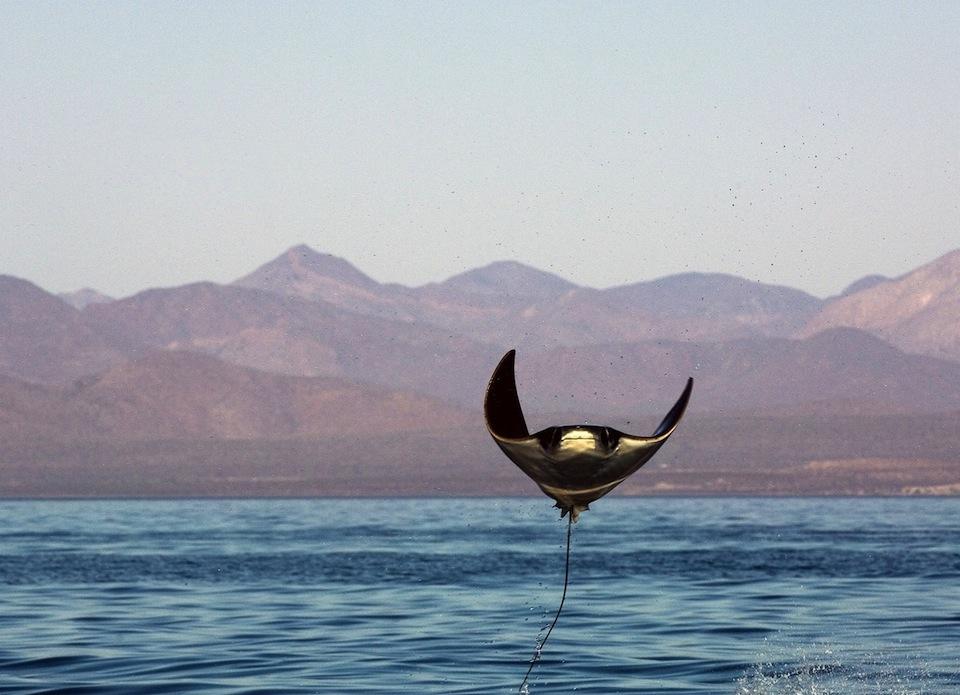 Mantarraya volando fuera del agua