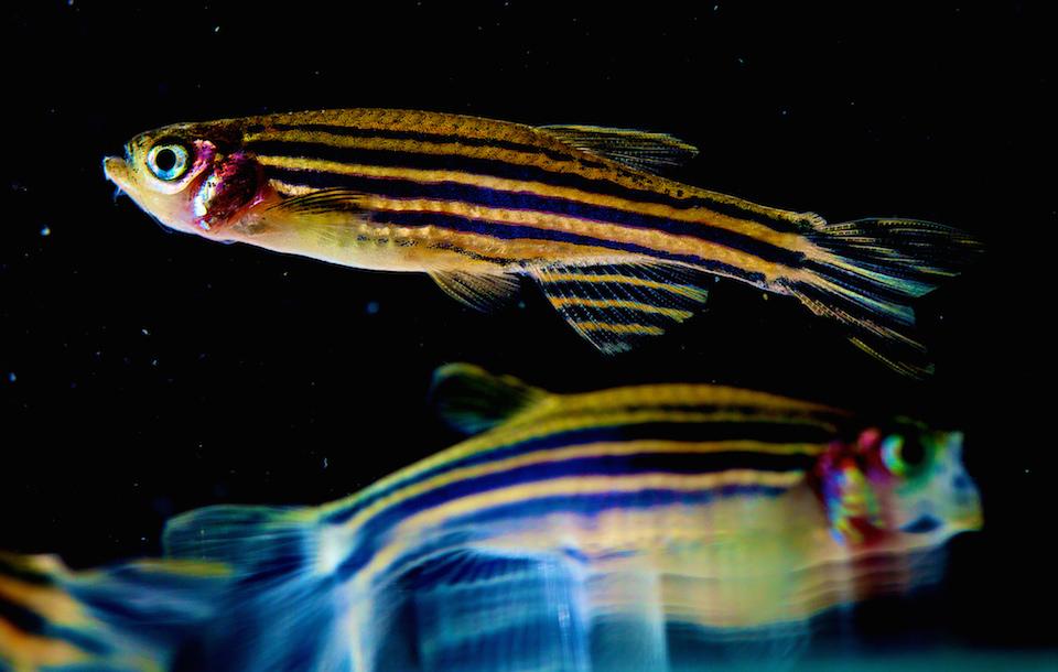 Los peces podrían tener emociones y conciencia