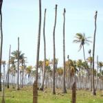Biotecnología contra el amarillamiento letal del cocotero