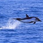 Las orcas y delfines de aguas europeas tienen altas concentraciones de PCB
