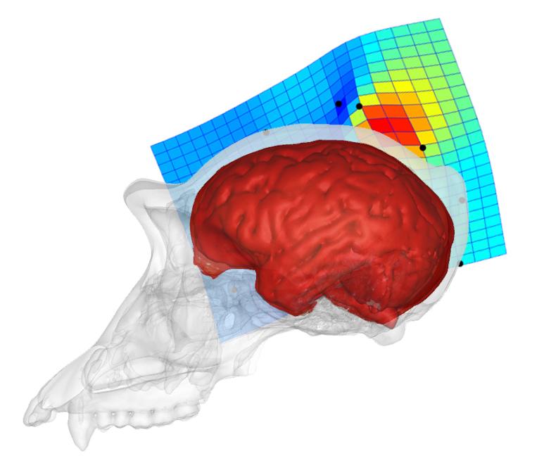 El cerebro del simio- CENIEH