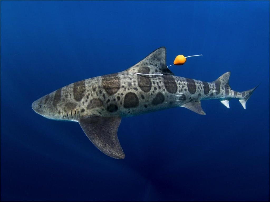 Los tiburones leopardo navegan con la nariz