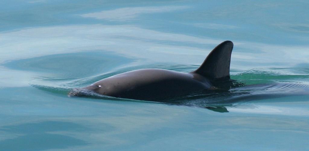 La 'cocaína del mar' un peligro indirecto para la vaquita marina