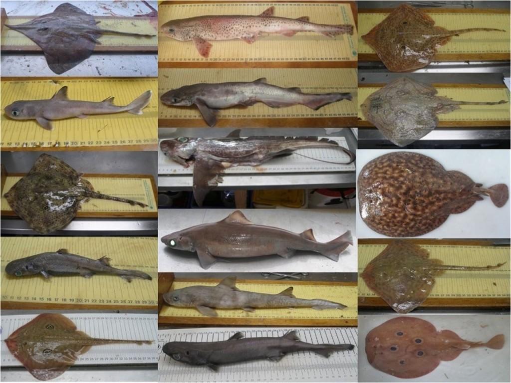 Varias de las especies registradas en el Mediterráneo- Instituto Español de Oceanografía