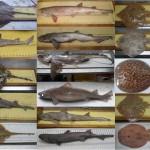 Al menos 25 especies de tiburones y rayas habitan el Mediterráneo occidental