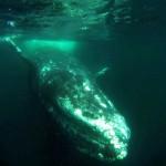 De Alaska a Baja California Sur: la ballena gris en aguas mexicanas