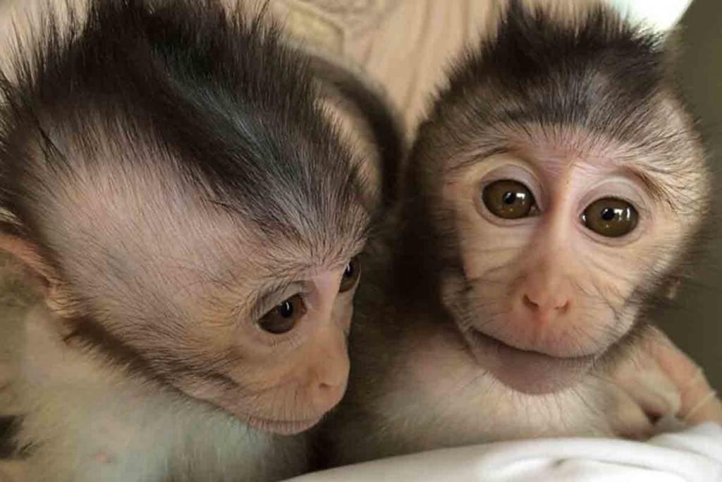 Monos modificados genéticamente con el gen MECP2- Yan-Hong Nie