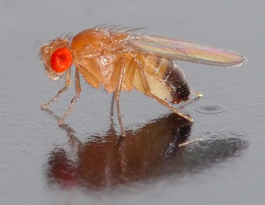 Mosca Drosophila melanogaster- André Karwath Aka