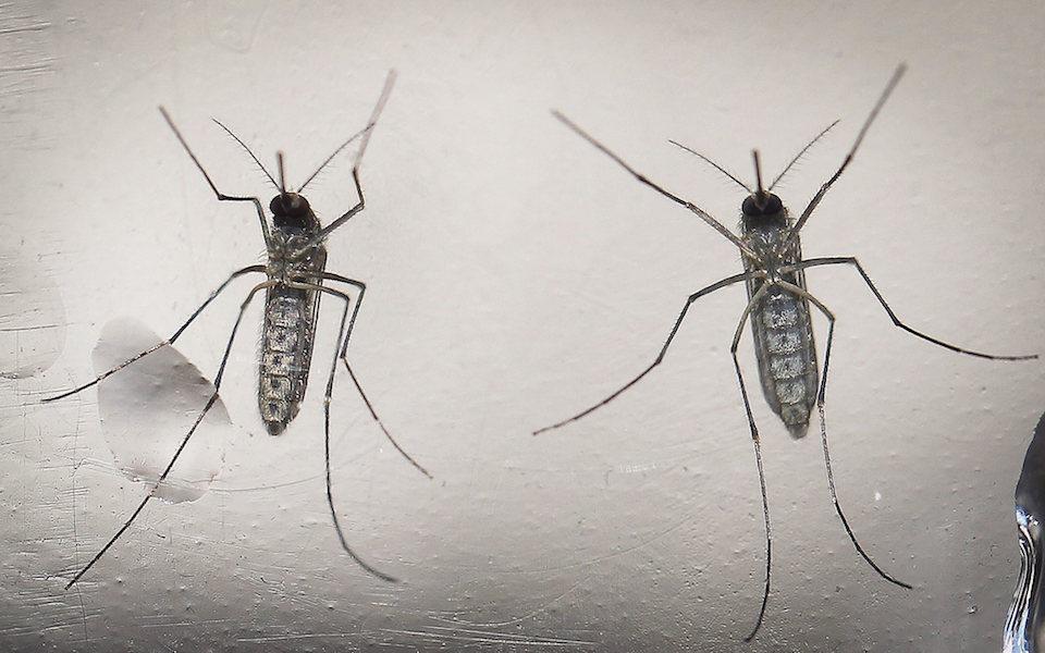 Mosquitos con genes modificados- EPA, Oscar Rivera