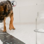 Perros policía, como testigos en los juicios: Identifican a los sospechosos por su olor, sin errores