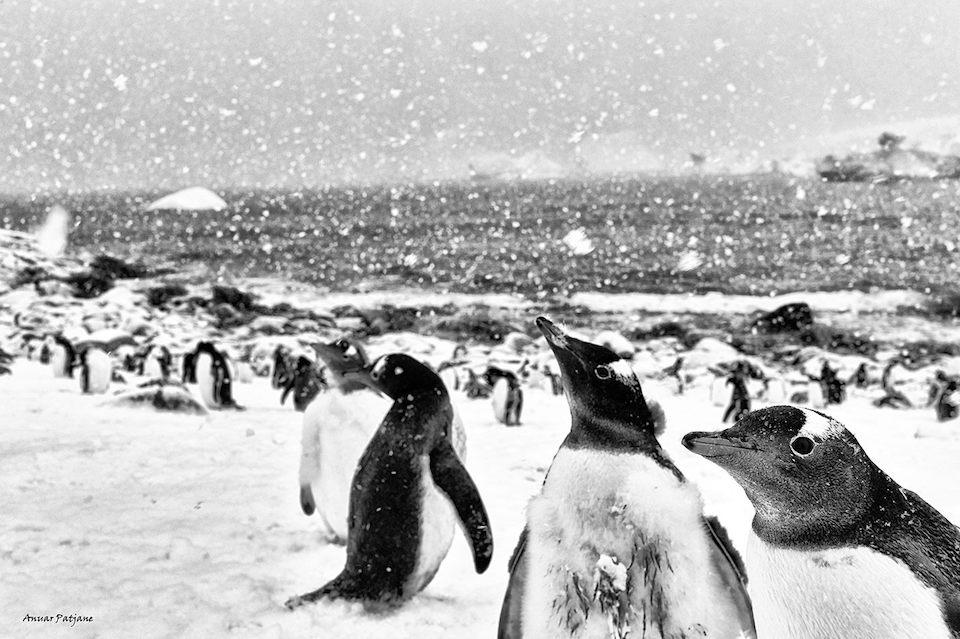 Pinguinos en la Antártida- Anuar Patjane Floriuk