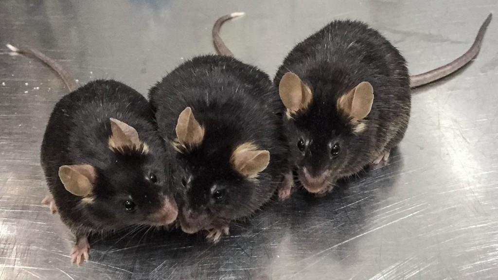 Ratones de 12 meses nacidos del esperma creado en el laboratorio a partir de células madre. _ Xiao-YangZhao, Jiahao Sha, Qi Zhou