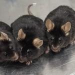 Esperma artificial produce crías de ratón sanas y fértiles
