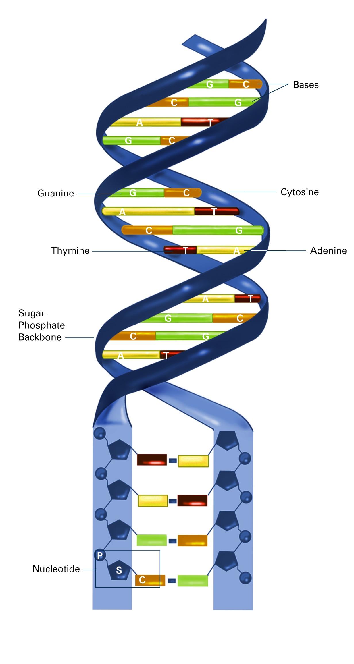 ADN y ARN en 3D- National Institute of General Medical Sciences
