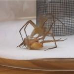 La técnica 'bondage' de los machos de araña vivero para no morir en la cópula